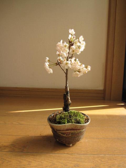 さくらさくらんぼ 【サクランボ盆栽】 ミニサクランボ