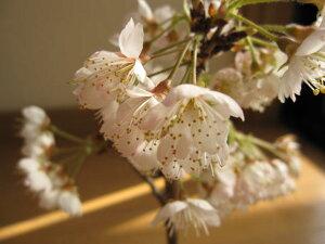 2021年の楽しみサクランボ盆栽さくらんぼ【サクランボ盆栽】 ミニサクランボ
