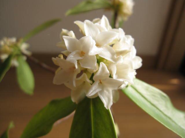 ギフト2019年3月頃に開花のジンチョウゲ鉢植え白沈丁花花の香りがいいかおりがします。 開花は毎年三月 自然の香水 沈丁花