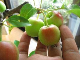 鉢植りんご 【長寿紅りんご】【長寿りんご】【送料無料】
