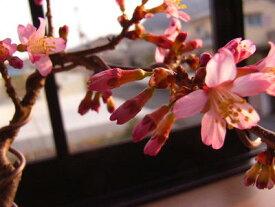 桜盆栽【ミニ盆栽桜】  サクラ盆栽で自宅でお花見】【おかめ桜盆栽】は一重のピンクのサクラです 2018年3月開花の花芽付の桜盆栽となります。