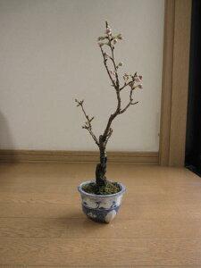 鉢植:さくらんぼ 【サクランボ盆栽】 ミニサクランボ