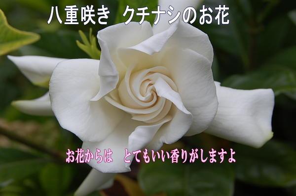 2018年6月父の日ギフトセレブに香りをプレゼントに 香りのする八重咲き クチナシ鉢植  2018年6月頃開花