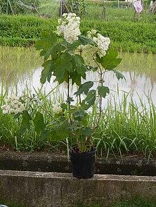アジサイ白紫陽花の大苗八重柏葉アジサイ八重カシワバアジサイスノーフレーク2021年開花予定の状態でお届けとなります