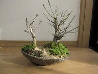盆栽:お祝い紅白梅桜盆栽贈り物盆栽信楽鉢入り送料無料