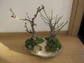 盆栽:紅白梅八重桜盆栽梅盆栽贈り物盆栽信楽鉢入り送料無料 2019年花芽付の桜盆栽となります。