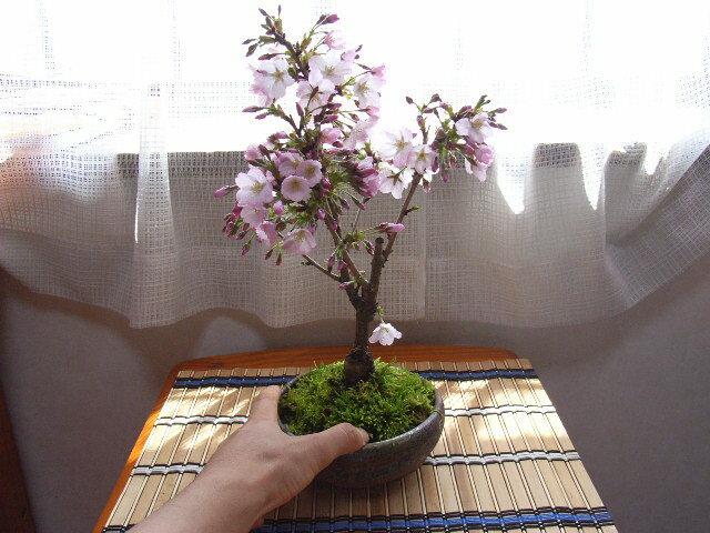 盆栽御殿場桜 ミニ盆栽桜2019年4月に開花の桜盆栽となります。