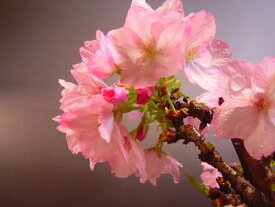 旭山桜苗サクラ苗普通の桜よりあまり大きくならない桜の苗【旭山桜】 旭山桜 苗木【さくら庭木】2020年4月中頃開花の花芽あります 鉢植えでも育てる事ができます