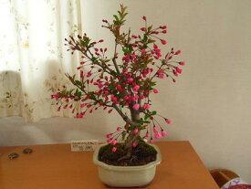 2021年3月〜4月頃開花のハナカイドウ桜盆栽:花海棠桜  桜盆栽