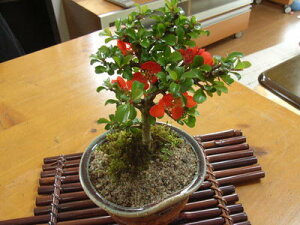 年に1回は咲く長寿梅盆栽 【長寿梅】【ミニ盆栽】  お誕生日プレゼントに可愛いミニ盆栽  信楽鉢植え 縁起の良い樹