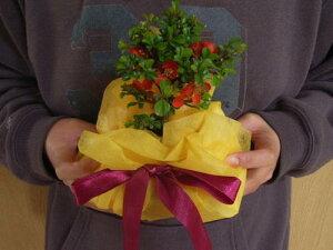 盆栽【長寿梅】【プレゼントに】 ミニ盆栽