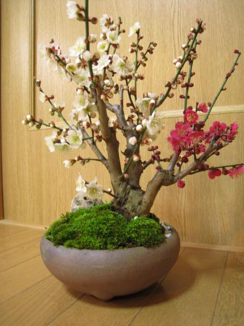 ミニ梅盆栽紅と白に咲く紅白梅盆栽梅盆栽盆栽信楽焼き入り2019年3月頃開花紅白梅盆栽