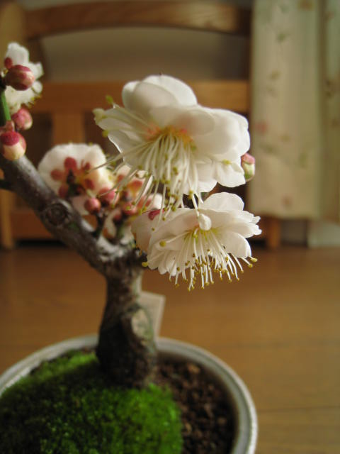 盆栽 玉牡丹梅ミニ梅の梅盆栽ミニ梅 2019年2月頃開花