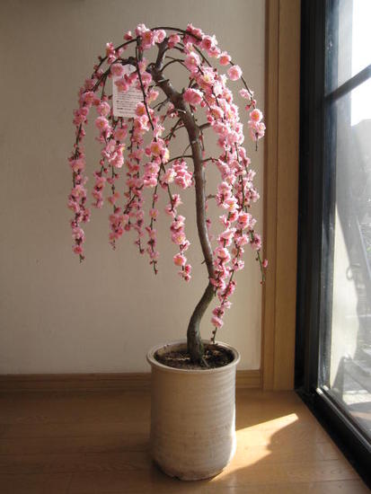 シダレウメ贈り物に2019年3月頃に開花 しだれ梅大 盆栽   枝垂れ梅はとても豪華です。シダレ梅 花が咲いた姿が楽しみなしだれ梅 信楽鉢入り開花は3月頃