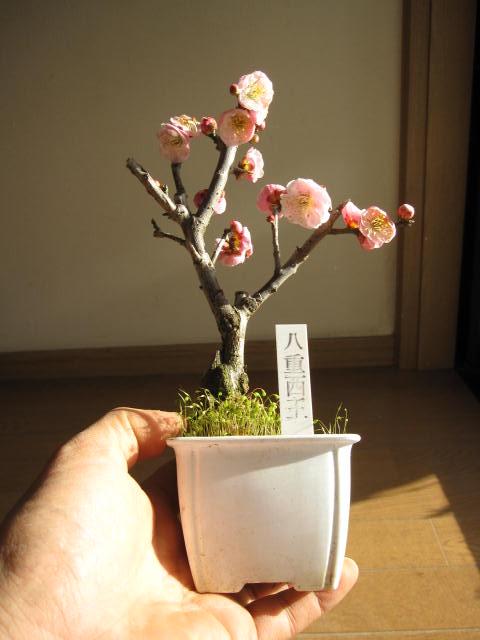 苗梅盆栽向け: 八重西王梅ミニ梅の苗