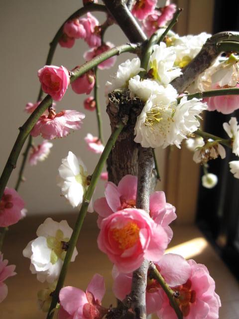 お庭に紅白に咲く おめでたい紅白梅紅白しだれ梅  春先に綺麗な紅白の花を咲かせます。  珍しい紅白梅 お祝いの贈り物に紅白しだれ梅紅白梅