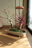 紅白寄せ植え盆栽紅と白梅の開花はとっても綺麗で香りもいいですよ今年の開花は少し遅めです。おススメです。紅白梅ポット入り【お買い得】紅白梅一本の樹から紅と白の梅の花