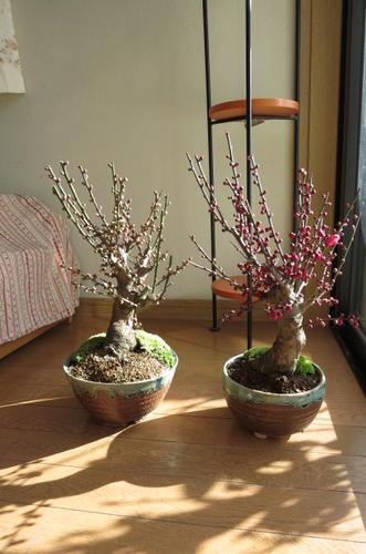 2018年2月頃開花紅と白梅 盆栽白梅盆栽  紅梅盆栽紅梅と白梅    二鉢でお買い得