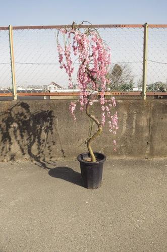 しだれ梅八重枝垂れ梅当店おススメ しだれ梅 特大 自宅で綺麗なしだれ梅が こちらの梅ですぐに 見れます。   枝垂れ梅 シダレ梅 庭木  花芽が 300芽以上あります