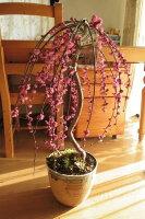 盆栽:しだれ梅梅盆栽紅色八重咲しだれ梅盆栽:しだれ梅寄せ植え盆栽八重しだれ梅2013年に開花します。ピンク色の八重咲がかわいい人気のしだれ梅信楽鉢入り