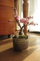 内裏梅盆栽梅梅盆栽ミニ梅の盆栽開花は2013年に開花