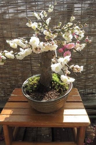 新春梅盆栽2018年2月頃開花 【思いのまま梅盆栽】信楽焼き入り思いのまま梅は咲き分ける梅の花が楽しめます。