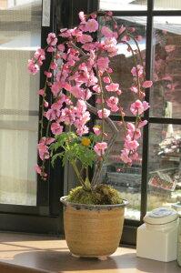 【しだれ梅】梅盆栽 ピンク色の八重しだれ梅梅の花盆栽鉢は信楽焼2021年3月頃に開花