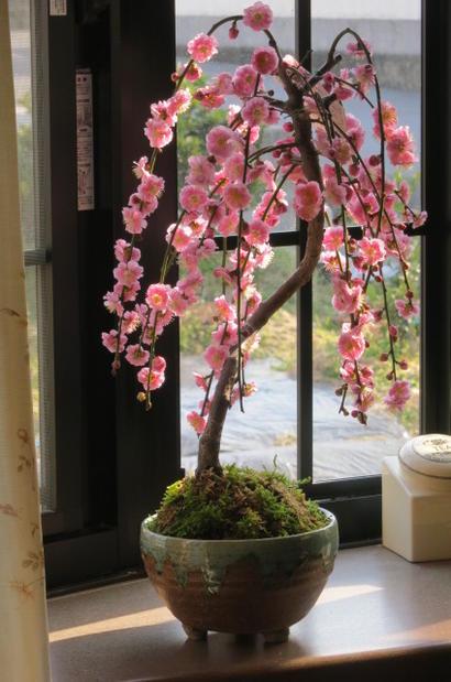 しだれ梅贈り物や自宅用として2019年3月頃開花予定おすすめのしだれ梅盆栽梅盆栽八重咲しだれ梅花鉢盆栽:八重しだれ梅ピンク色の八重咲がしだれ梅お花から梅の香りも楽しめます鉢植え 花 ギフト