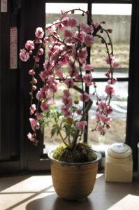 2021年3月頃にに香りと お花が楽しめる 八重しだれ梅盆栽 【しだれ梅】 ピンク色の八重梅の花 盆栽鉢は 信楽焼