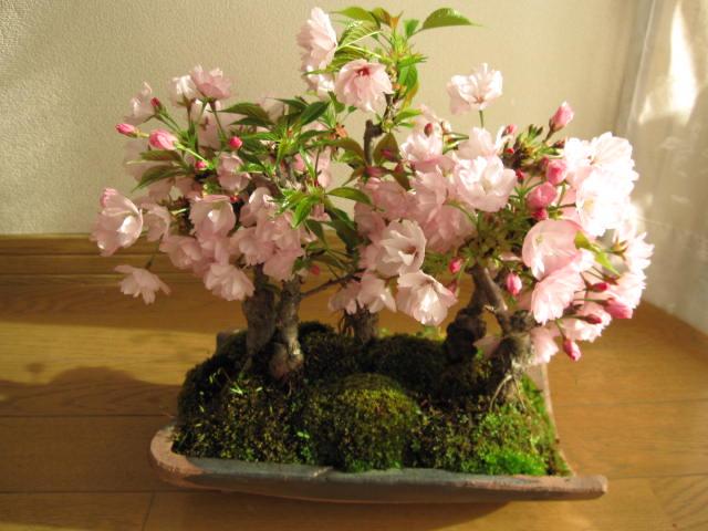 新春盆栽お祝いに4月に開花【桜盆栽】八重桜盆栽お花見ができる豪華な桜桜盆栽桜並木桜盆栽ミニ桜盆栽海外でも BONSAUIボンサイといいます。2018年4月開花の花芽付の桜盆栽となります。
