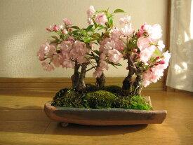 お花見サクラ盆栽桜盆栽盆栽桜桜並木桜盆栽お祝い桜盆栽信楽鉢入り2020年花芽付の桜盆栽となります。ちなみに海外でも BONSAUIボンサイといいます。