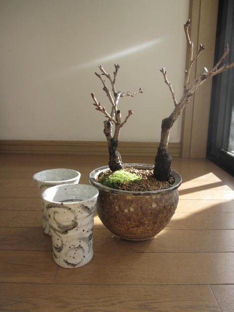 桜盆栽ツイン桜お花見セット盆栽海雲桜盆栽信楽鉢入り2019年花芽付の桜盆栽となります。