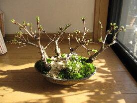 桜盆栽桜舟盛り桜盆栽お祝い桜五桜盆栽信楽鉢入り お届けは葉桜盆栽となります。 送料無料