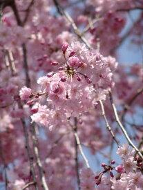 2020年4月中頃に開花の桜の苗 【八重しだれ桜】 シンボルツリーしだれ桜苗