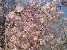 桜苗【 雨情枝垂桜】【しだれ桜】桜庭木