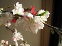 ハナモモ源平桃【ゲンペイモモ】枝垂れ桃【庭木苗】【源平しだれ桃】【桃】桃の花紅白しだれ桃2014年春に開花します。