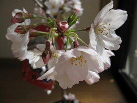 鉢植えで育てるソメイヨシノ桜 【染井吉野桜】 【ポット苗】2020年4月開花予定の苗です  高さ 50センチ前後 鉢植えにお勧めサイズ