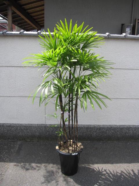 観葉植物 【棕櫚竹(シュロチク)】