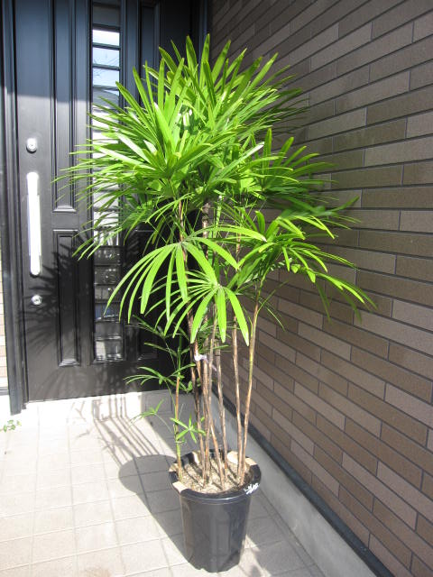 観葉植物【棕櫚竹(シュロチク)】