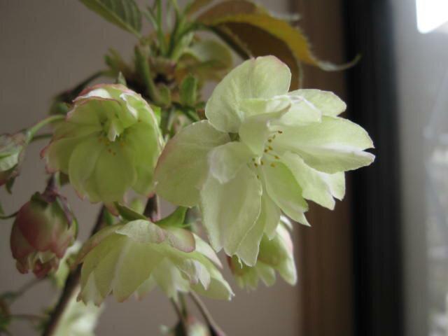 桜鉢植えウコン桜鬱金桜桜鉢植 2018年4月頃開花