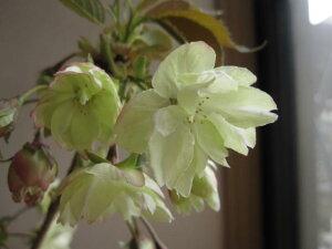 プレゼントに桜鉢植えウコン桜鬱金桜桜鉢植4月頃開花