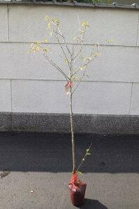 桜 富士桜 桜苗記念樹に桜を 一本