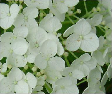おすすめのプレゼントに白いアナベルアジサイ2018年6月開花苗 とても丈夫で強い品種ですアナベル苗あじさい大苗2018年6月開花予定となります当店お勧めアナベル苗です開花後 切り花ししても楽しめます