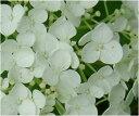 プレゼントに白いアナベルアジサイ2017年開花苗 とても丈夫で強い品種ですあじさい】大苗2017年6月開花予定となります当店お勧めアナベル苗です