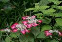 母の日ギフトに清楚で人気のある山アジサイ 紅【紫陽花】 【信楽鉢入り】 2017年5月頃開花予定のアジサイでの状態で…