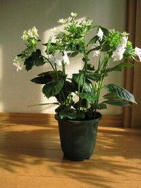 母の日ギフト2021年の母の日の贈り物に紫陽花お届けは5月4日より墨田の花火ガクアジサイ あじさい苗