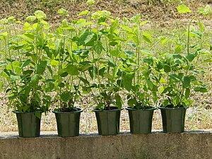 2021年開花のアジサイアナベル貴方の自宅をアナベルアジサイの咲く白いお庭にアナベル苗 アナベル苗 アジサイ  5本セット アジサイ 大苗 セット 7月以降のお届けは開花が終了して