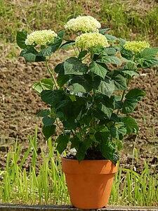母の日ギフト2021年6月開花の遅咲アジサイアジサイ鉢植えアジサイアナベル鉢植えアナベル紫陽花