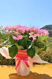 遅れてごめんね【ひな祭り】ピンク  少し 訳アリ5月に開花星咲きの綺麗なアジサイまだ間に合う母の日プレゼントにもおすすめのアジサイ2021年5月母の日の贈り物あじさい ガクアジサイ 紫陽花鉢植えガク咲きの八重 紫陽花