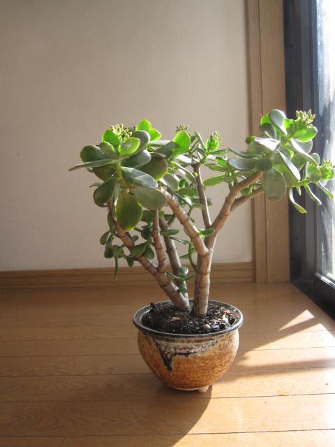 金のなる木 【花月盆栽】花月 満天の星  花芽月